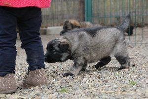 altdeutsche schaferhund 197
