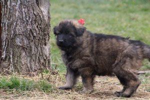 altdeutsche schaferhund 199