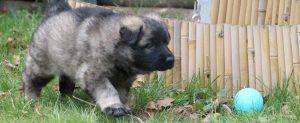 altdeutsche schaferhund 206bandeau