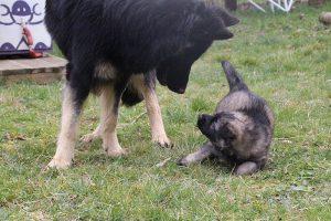 altdeutsche schaferhund 214