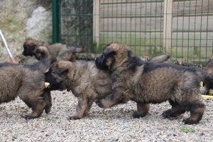 altdeutsche schaferhund 215