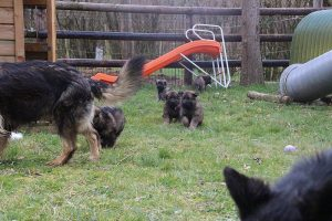 altdeutsche schaferhund 218