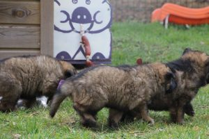 altdeutsche schaferhund 219