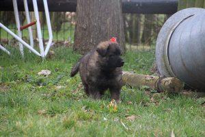 altdeutsche schaferhund 221