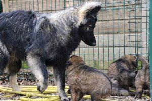 altdeutsche schaferhund 233