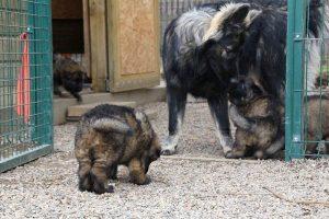 altdeutsche schaferhund 241