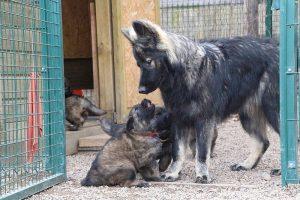 altdeutsche schaferhund 243