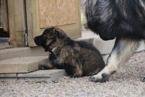 altdeutsche schaferhund 255