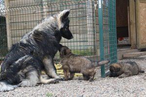 altdeutsche schaferhund 262