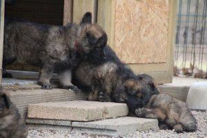 altdeutsche schaferhund 271