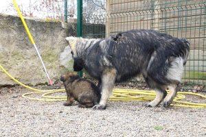 altdeutsche schaferhund 290