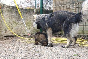 altdeutsche schaferhund 291