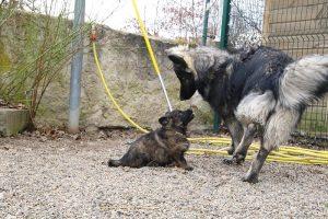 altdeutsche schaferhund 297