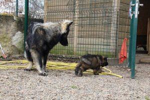 altdeutsche schaferhund 299