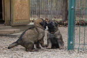 altdeutsche schaferhund 301