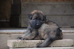 altdeutsche schaferhund 313