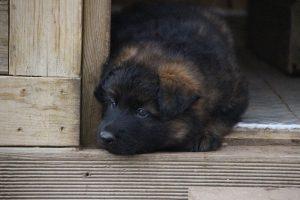 altdeutsche schaferhund 329