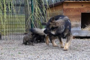 altdeutsche schaferhund 362