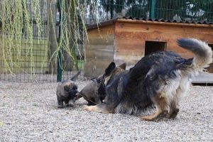 altdeutsche schaferhund 363