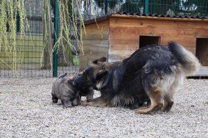 altdeutsche schaferhund 364