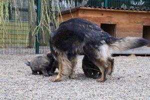 altdeutsche schaferhund 365