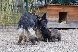 altdeutsche schaferhund 366