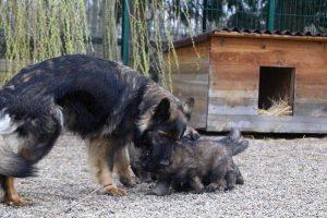 altdeutsche schaferhund 367