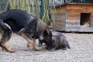 altdeutsche schaferhund 368