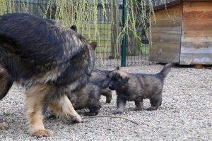 altdeutsche schaferhund 369