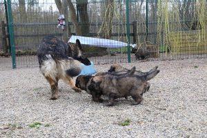 altdeutsche schaferhund 371