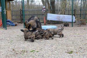 altdeutsche schaferhund 372
