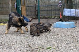 altdeutsche schaferhund 374