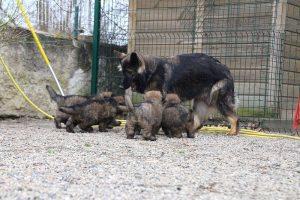 altdeutsche schaferhund 376