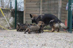 altdeutsche schaferhund 377