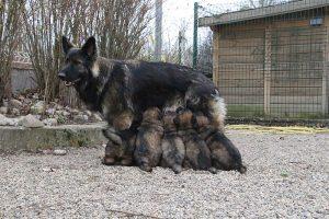 altdeutsche schaferhund 395