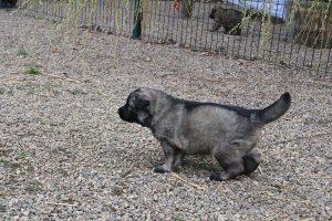altdeutsche schaferhund 423