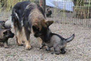 altdeutsche schaferhund 424