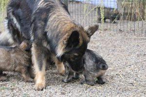 altdeutsche schaferhund 425