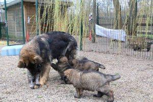 altdeutsche schaferhund 427