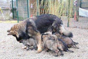 altdeutsche schaferhund 428