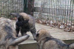 altdeutsche schaferhund 519