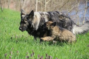 comme-chiens-et-loups 010