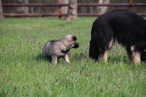 comme-chiens-et-loups 020
