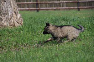 comme-chiens-et-loups 024