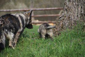 comme-chiens-et-loups 025