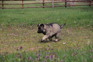 comme-chiens-et-loups 029