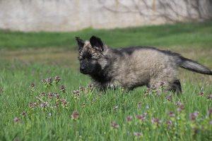 comme-chiens-et-loups 031