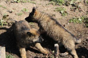 comme-chiens-et-loups 036