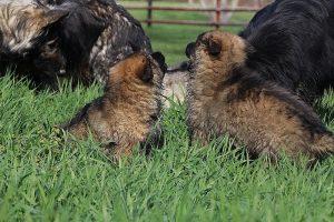 comme-chiens-et-loups 041
