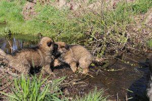 comme-chiens-et-loups 063